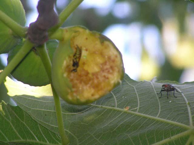 Higo con avispa y mosca